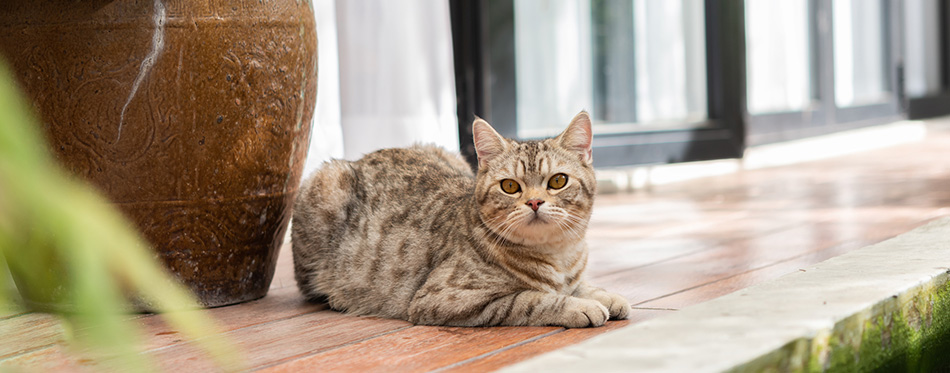 Handsome tabby cat sit on wooden balcony