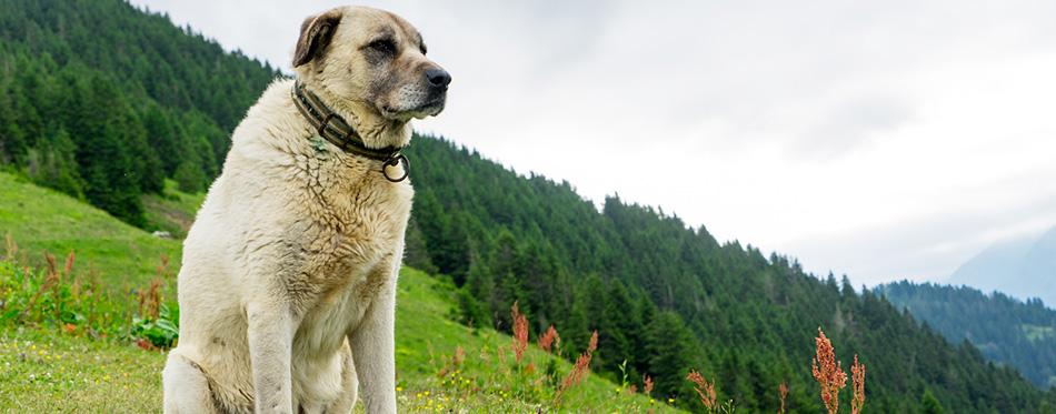 Kangal Dog there Pokut Plateau Rize Camlihemsin Turkey
