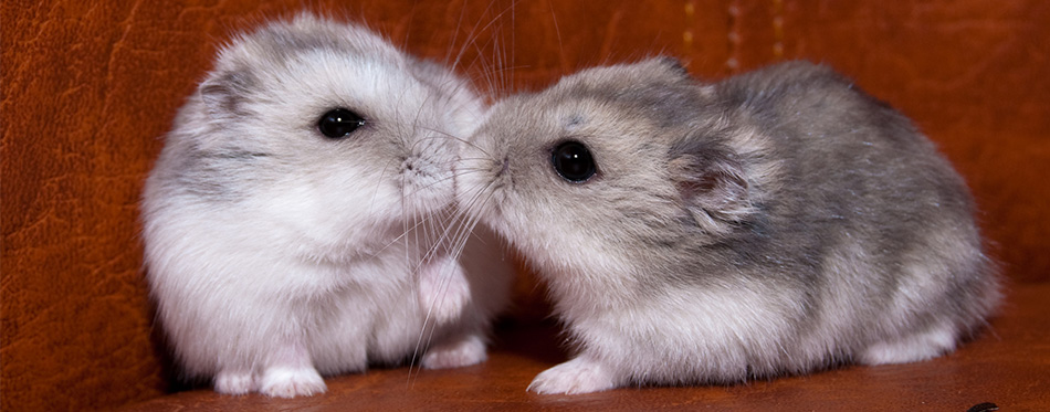 Kissing hamsters