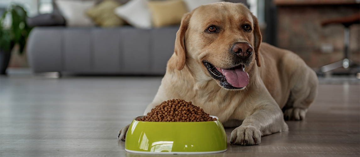 Labrador near food bowl