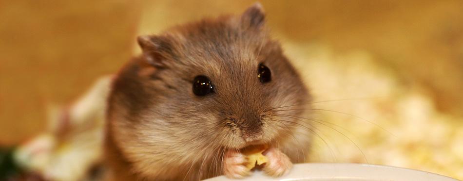 Little hamster eating
