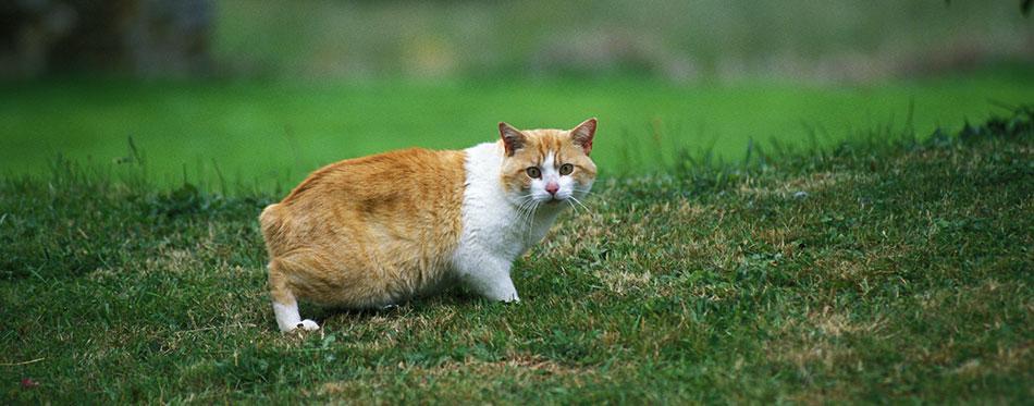 Orange Manx cat on the grass