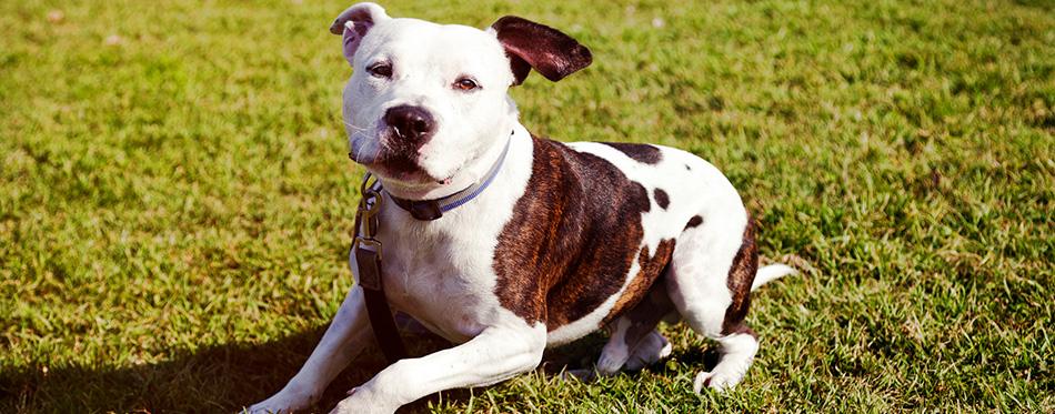 Pitbull dog sitting on lawn