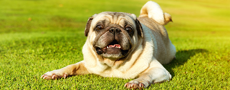 Pug dog lying