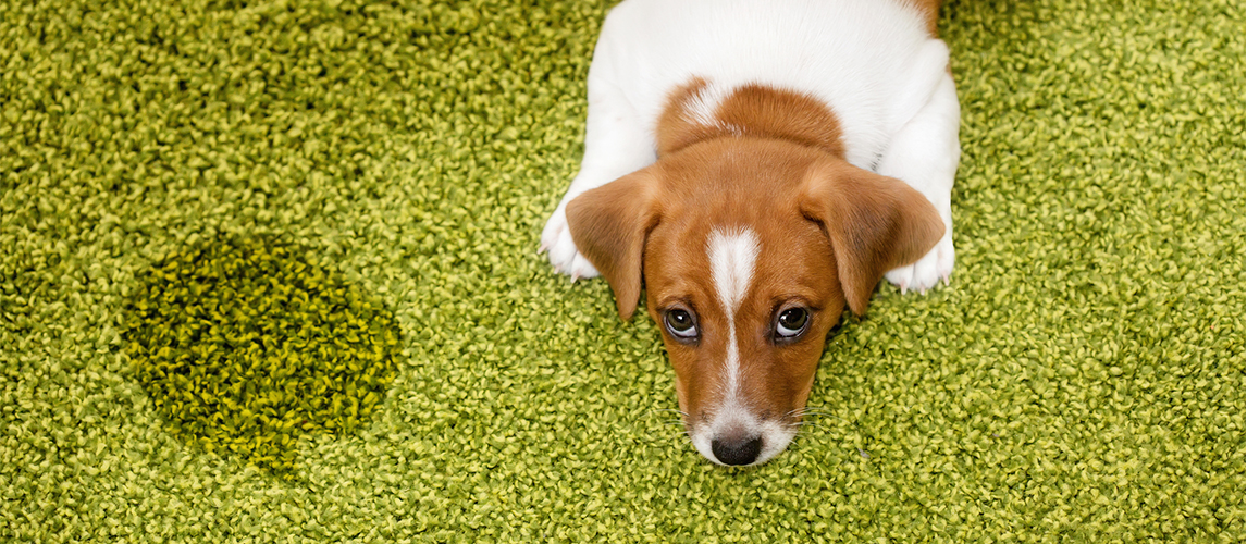 Puppy lying on a carpet