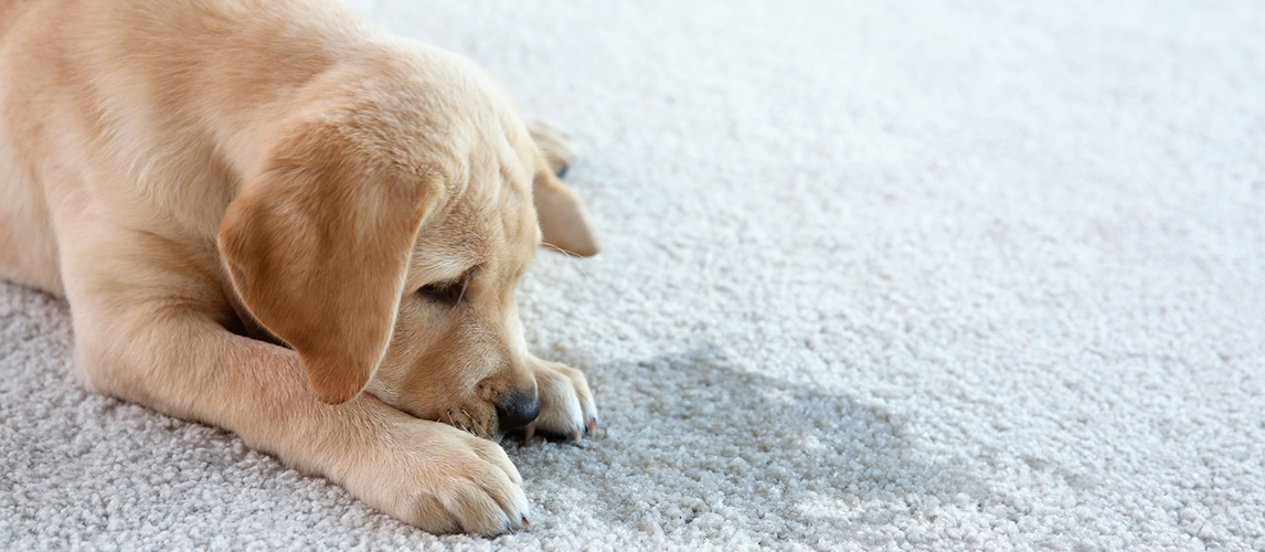 Puppy lying on the carpet