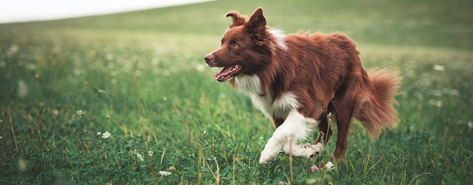 Red border collie dog running