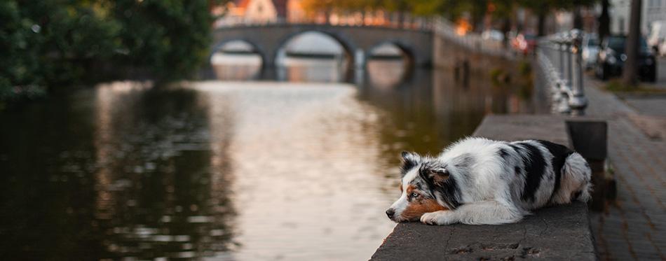 Sad dog lying