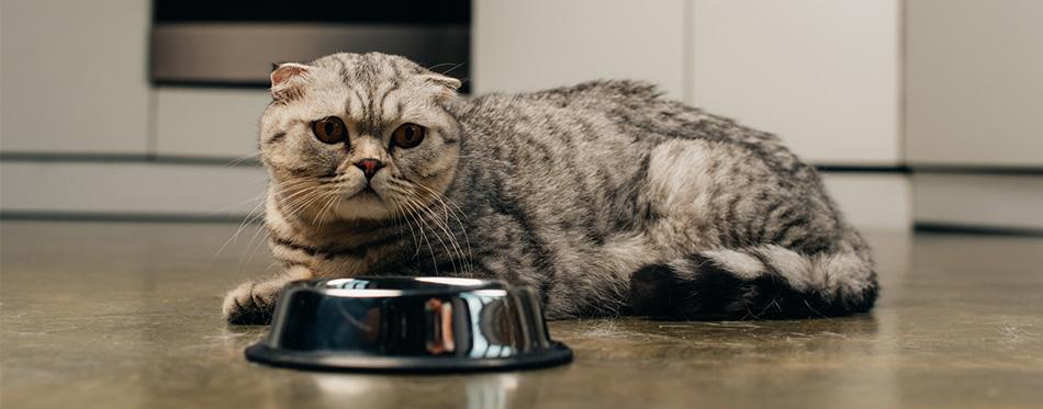 Scottish fold cat near food bowl
