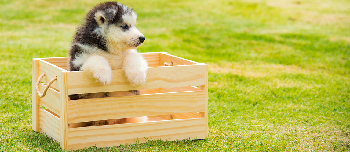 Siberian husky puppy and toy box