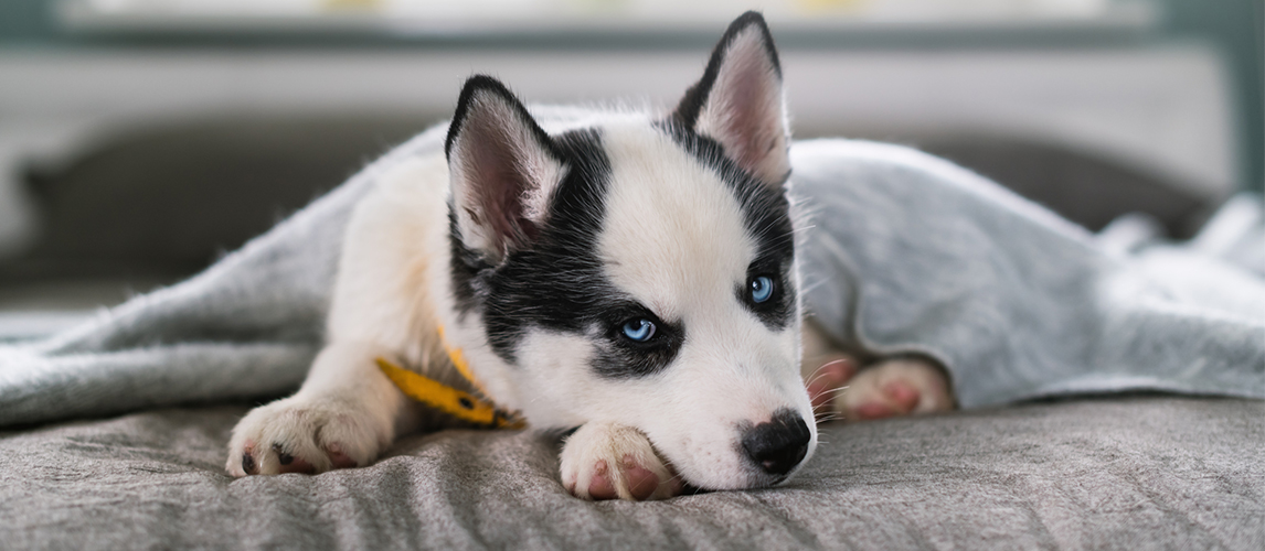 Siberian husky puppy lying on the bed