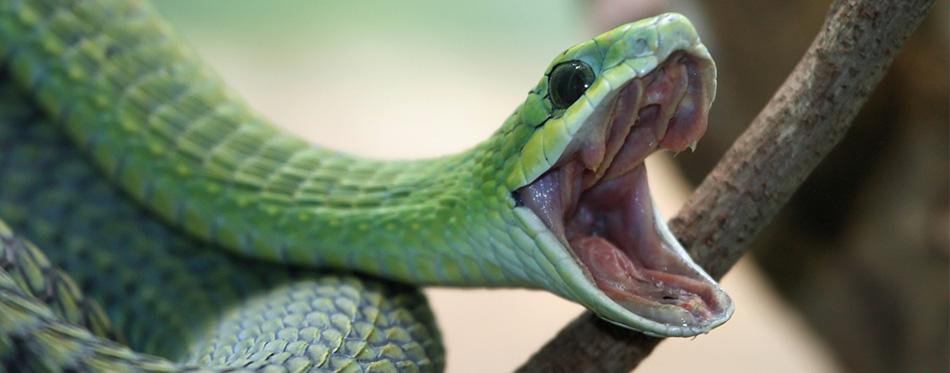 Snake yawn