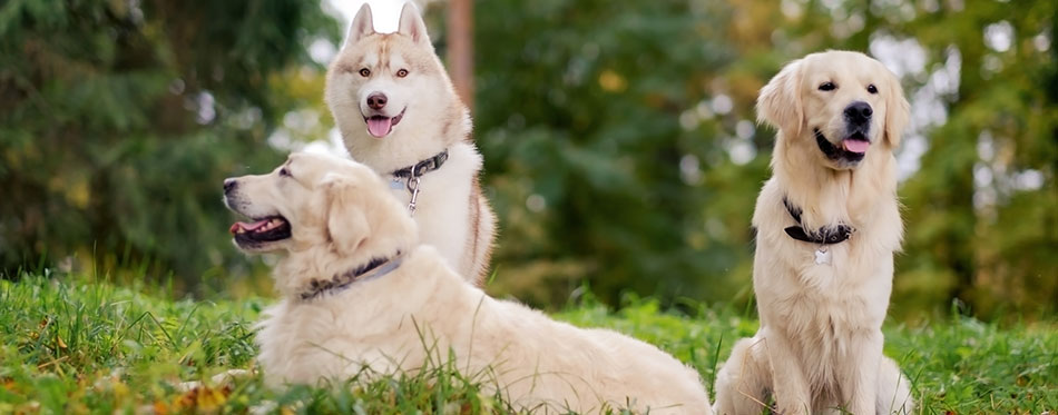 Three dogs Siberian Husky and Golden Retrievers are sitting in park resting