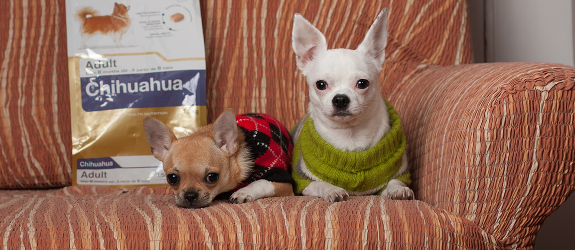 Two Chihuahua dogs resting on the couch