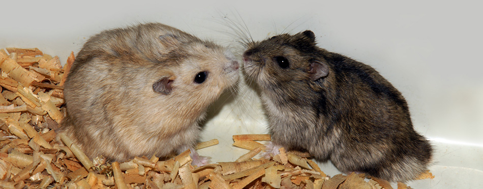 Two cute hamsters