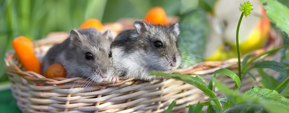 Two hamster in a basket