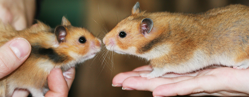 Two hamsters in hands