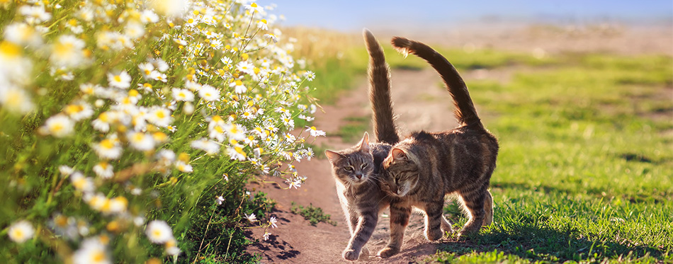 Two loving tabby cats walking on summer flower