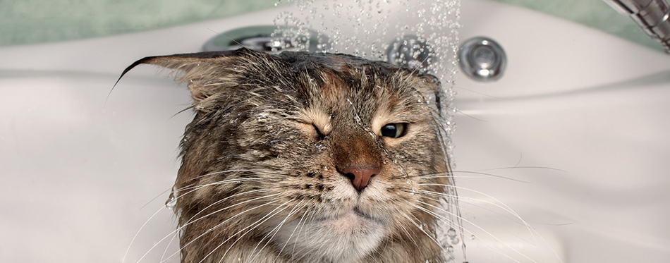 Wet cat in the bath. Funny cat. Maine Coon