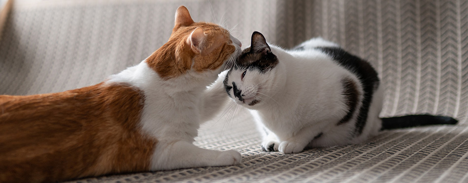White and brown cat grooming each other