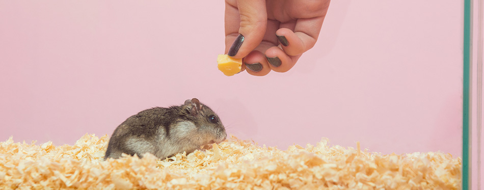 Woman feeding a hamster with cheese