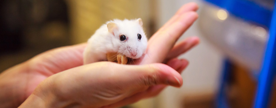 Woman holding a white hamster