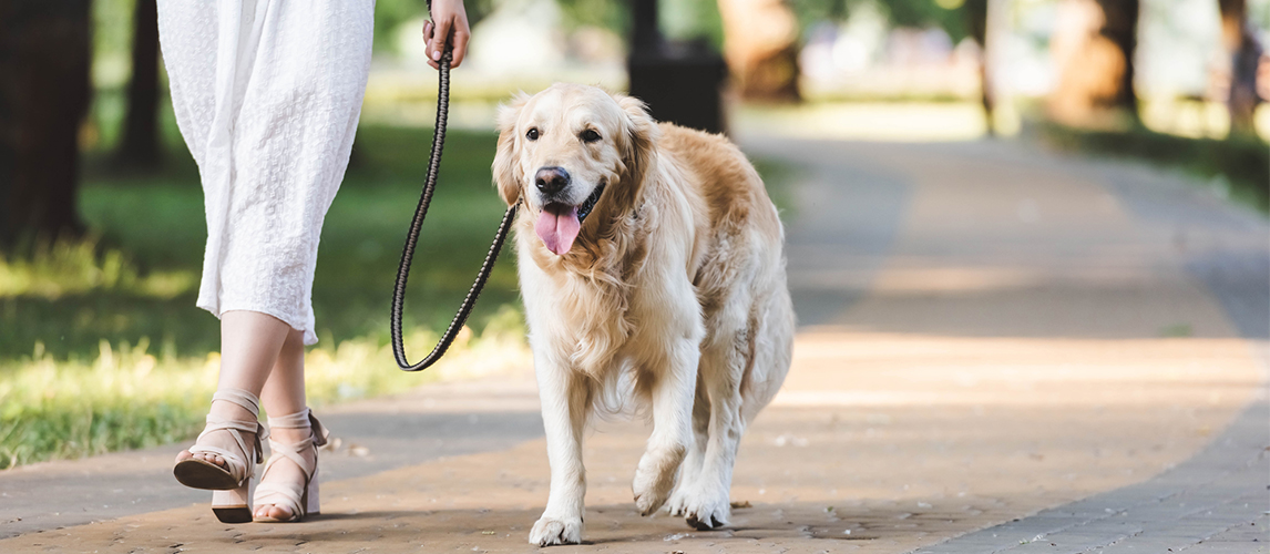 Woman walking with golden retriever