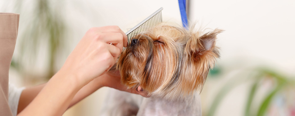 Yorkshire terrier enjoys the process of brushing.