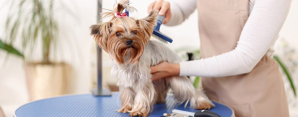 Yorkshire terrier is being brushed by groomer.