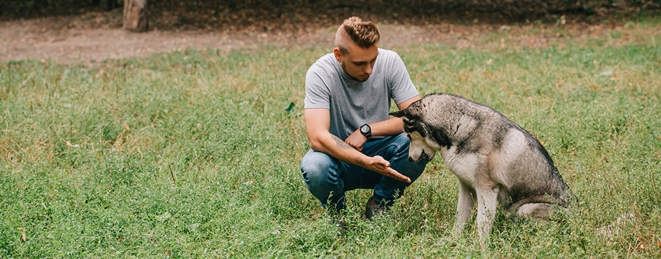 Young man training with siberian husky