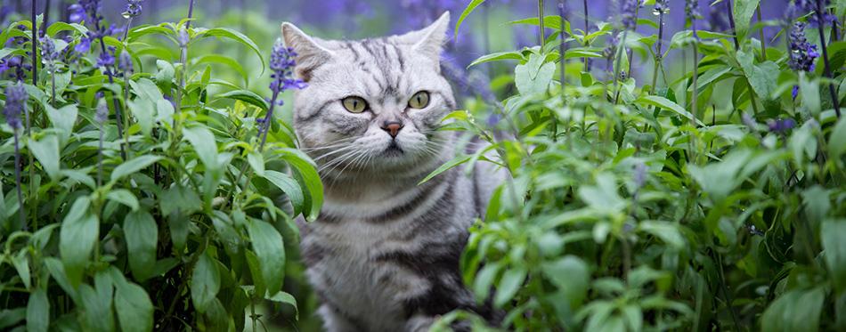 cat lavender flowers