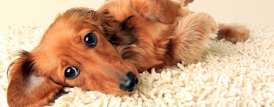 dachshund puppy licking the carpet