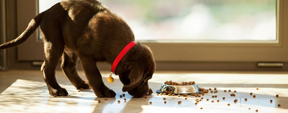 dog eats food
