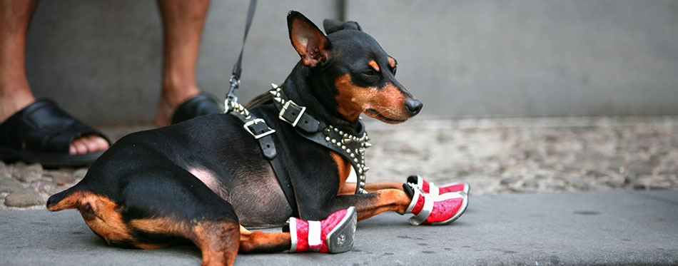 dog with red boots
