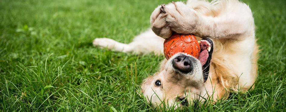 golden retriever dog playing outdoors