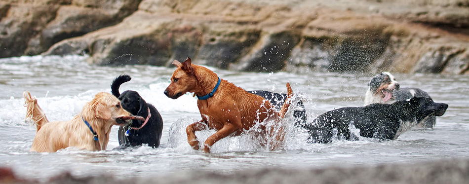 group of dogs playing in the ocean
