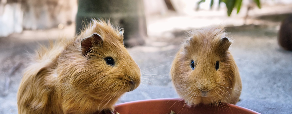 guinea pigs are having meal