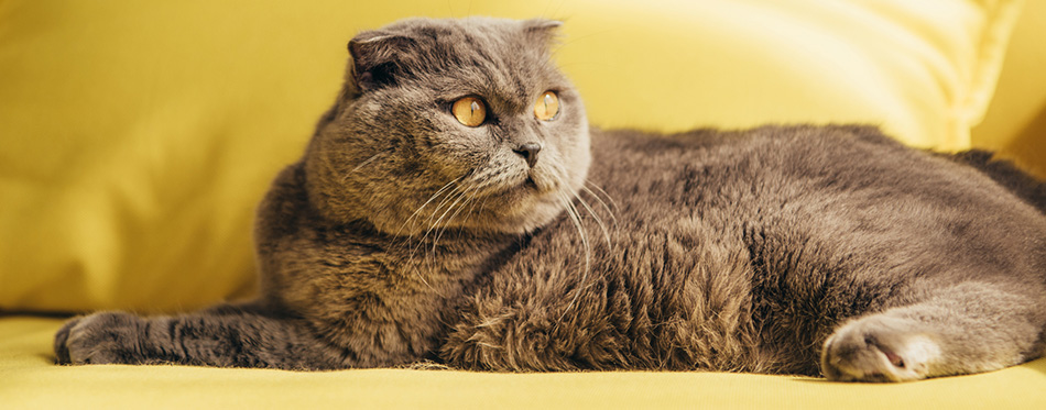 scottish fold cat on yellow sofa at home