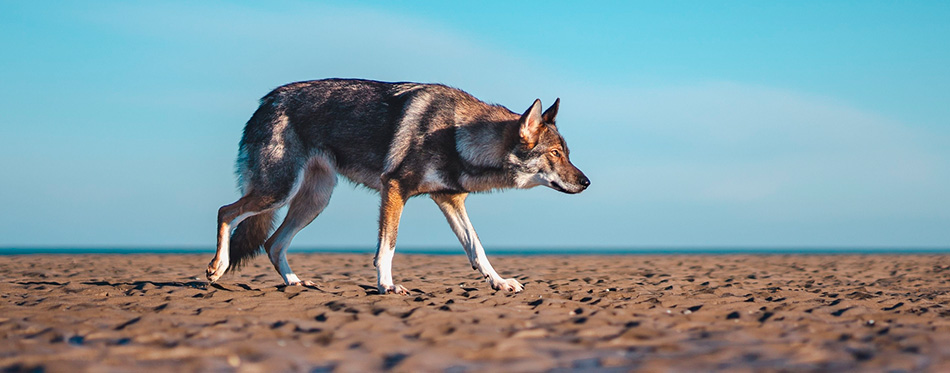 wolfdog walking at the beach