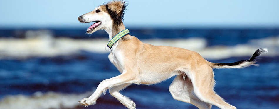 5 months old saluki puppy on the beach