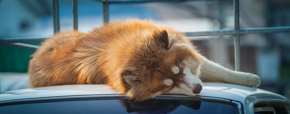 A big dog sleep on the roof of white car beside the road