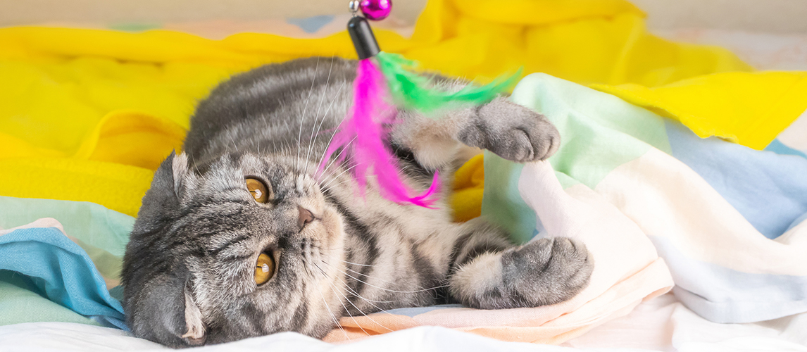 A gray Scottish fold cat with yellow eyes lies on the bed and plays with feathers on a string. The concept of home fun, comfort. Cute funny pet.