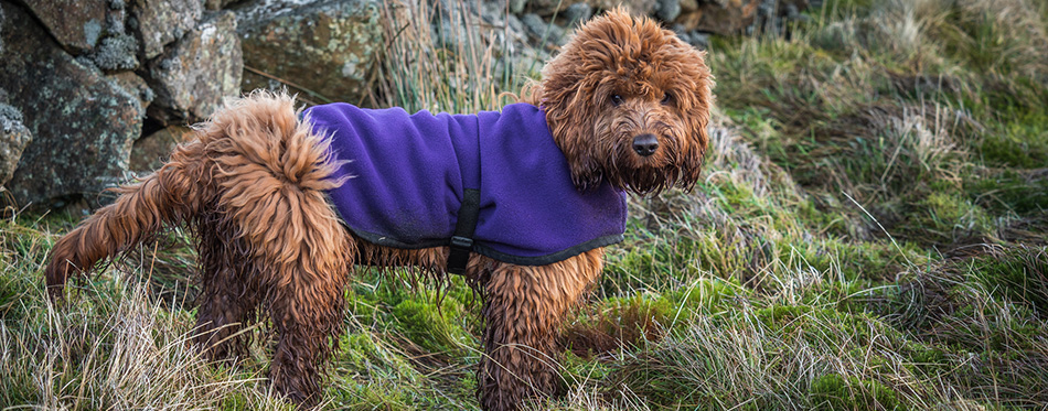 A muddy young cockapoo puppy enjoying a walk outdoors on the hillside - stock image