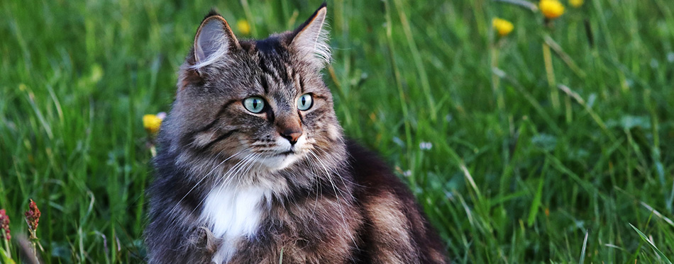 A young Norwegian forest cat is hunting