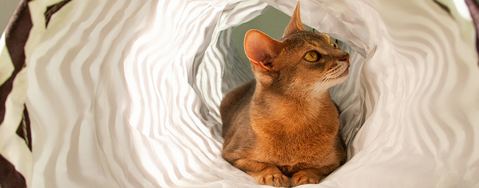 Abyssinian cat playing