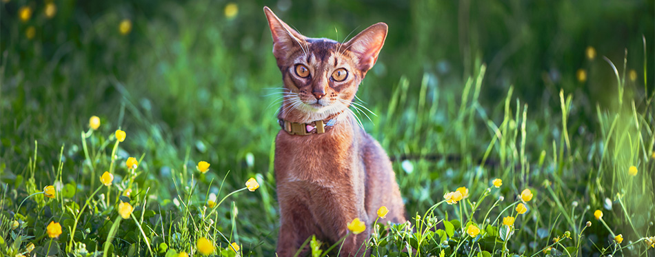 Abyssinian cat with a collar