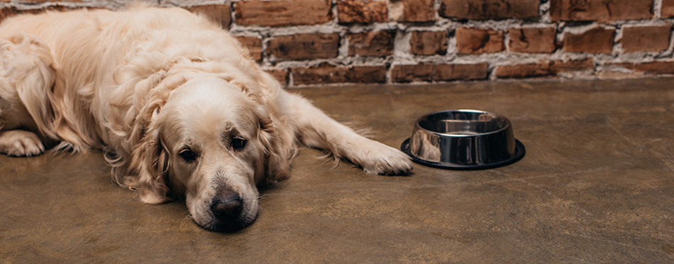 Adorable golden retriever lying near bowl and brick wall a