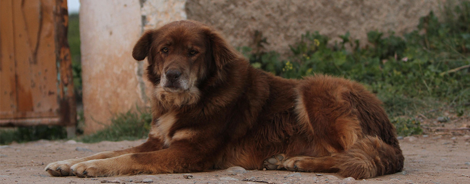 Aidi (Atlas Mountain Dog)