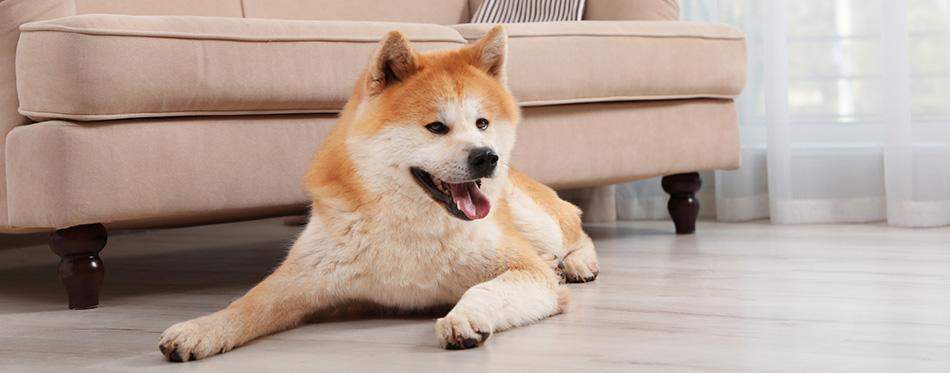 Akita dog lying