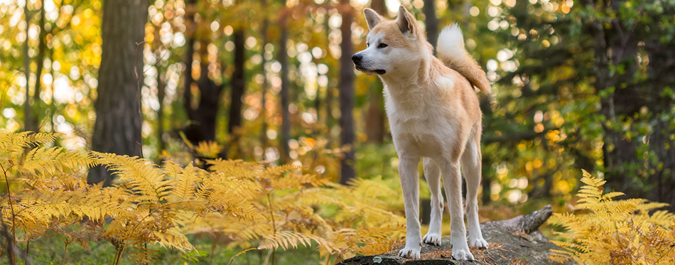Akita in the woods